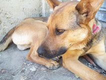 Brown Dog royalty free stock photos