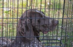 The close up of brown dog inside cage. The close up of brown dog inside cage Stock Photos