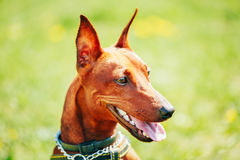 Close Up Brown Dog Miniature Pinscher Head Royalty Free Stock Image