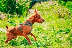 Close Up Brown Dog Miniature Pinscher Head Royalty Free Stock Photo