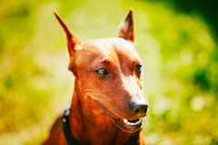 Close Up Brown Dog Miniature Pinscher Head Royalty Free Stock Photos