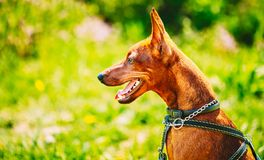 Close Up Brown Dog Miniature Pinscher Head Stock Images