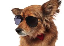 Close up of brown dog with sunglasses and red bowtie. Looking to side on white background Stock Images