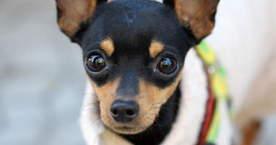 Close up of a Brown doggy with big eyes. Picture of a Close up Brown black doggy with big eyes Stock Photos