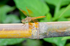 Close-up of brown dragonfly Royalty Free Stock Photos