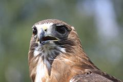 Close up Falconry Hawk. A close up of falconry Hawk with brown and white plumage Royalty Free Stock Images