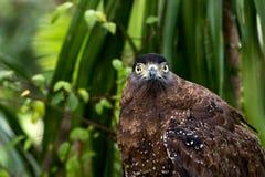 Close up of brown eagle  grabbing on timer. And looking at camera Royalty Free Stock Photo