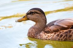 Close up of a brown female Mallard duck swimming. Brown Mallard duck swimming.  Female with brown speckled plumage in the water Royalty Free Stock Images