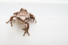 Close up of brown frog Royalty Free Stock Photos