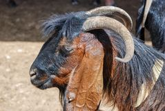 Close-up of goat head. Close-up of brown goat head stock photography