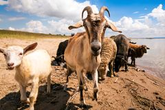 Close-up of a brown goat and white kid. Looks at the camera, in the background a flock of sheep and goats drinks water from a river on a warm summer day stock photography