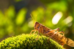 Grasshopper on grass. Close up of brown grasshopper Schistocerca gregaria grass meadow illuminated by a soft natural sunset light. The Schistocerca gregaria own Royalty Free Stock Photo