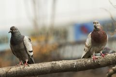Close up of a brown and a grey pigeon standing at a tree branch at Cheonggyecheon, Seoul, staring at the photographer stock images