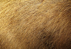 Close up brown hair dog Royalty Free Stock Photography