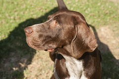 Close up of brown head of dog Royalty Free Stock Images