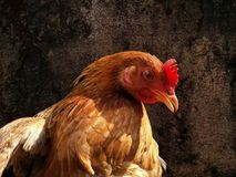 Portrait of brown hen looking critically at camera Royalty Free Stock Photography