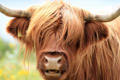 Close-up of a brown Highlander cow in Scotland royalty free stock photo