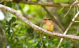 Close-up of a Brown-hooded Kingfisher Royalty Free Stock Image