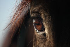 Close up of brown horse eye Stock Photography