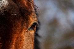 Close up of brown horse eye Royalty Free Stock Photos