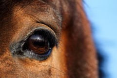 Close up of brown horse eye Stock Images