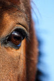 Close up of brown horse eye Royalty Free Stock Image