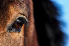 Close up of brown horse eye Stock Image