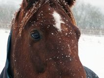 Close up of a brown horse in falling snow with face and eyes Royalty Free Stock Photos