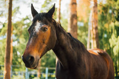 Close Up Of Brown Horse In Farm Paddock Royalty Free Stock Photography