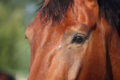 Close up of brown horse head and eye Royalty Free Stock Photo