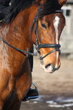 Close up of brown horse with rider. Close up of brown latvian horse with rider Stock Photo