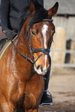 Close up of brown horse with rider. Close up of brown latvian horse with rider Royalty Free Stock Photos