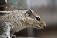 Close Up of a Brown Indian Squirrel Stock Photography