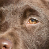 Close-up of a brown labrador. Puppy Royalty Free Stock Photo