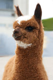 Close up of brown Lama Stock Photo
