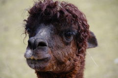 Close up of a brown Lama. Portrait of a Brown coloured Lama, South American camelid, domesticated alpaca stock images