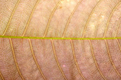Close up of brown leaf texture Stock Image