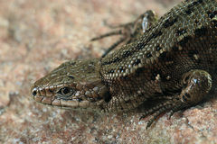 close up brown lizard Royalty Free Stock Photography