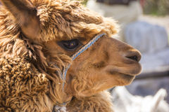 Close up of Brown llama or alpaca animal Stock Photo