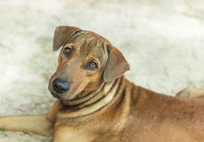 Close up brown mongrel stray dog Royalty Free Stock Photo