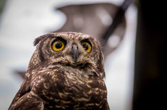 Close up of brown owl face outdoors. Close up shot of brown owl sitting on a tree outdoors Stock Image