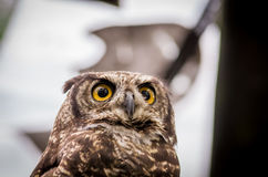 Close up of brown owl face outdoors. Close up shot of brown owl sitting on a tree outdoors Royalty Free Stock Images