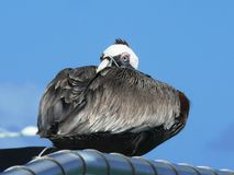 Close-up on a brown pelican at rest in Guadeloupe. royalty free stock photography