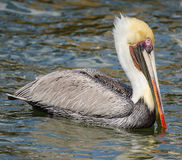 CLOSE UP OF A BROWN PELICAN SWIMMING Stock Photos