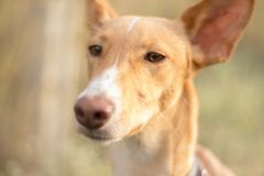 Close-up of brown podenco dog royalty free stock images