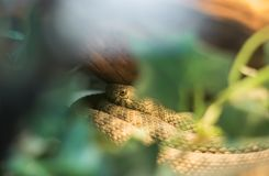 Close up of brown poisonous snake in vivarium. Slovenia Stock Photo