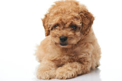 Close-up of brown puppy Stock Image