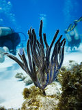 Close-up of brown and purple sea fan with divers Stock Photos