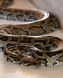 Close up of brown python Royalty Free Stock Images