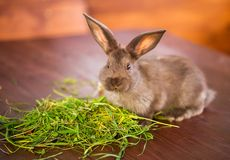 Brown rabbit eating grass Royalty Free Stock Photo